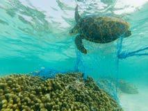 Tortuga verde y una red de pesca desechada Foto de archivo
