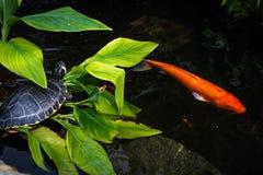 Tortuga y Koi Imagenes de archivo