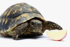 Tortuga y manzana Imagenes de archivo
