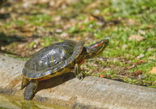 tortuga y sol Rojo-espigados del resbalador Imagen de archivo libre de regalías