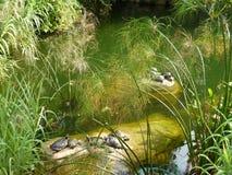 tortugas Fotografía de archivo