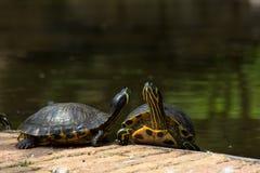 Tortugas Obrazy Royalty Free