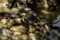 Tortugas americanas en piscina de agua fotos de archivo libres de regalías
