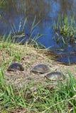 Tortugas de Blandings que toman el sol Fotos de archivo