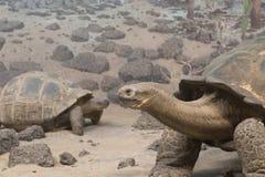 Tortugas de Galapogas del gigante en tierra árida Fotografía de archivo libre de regalías