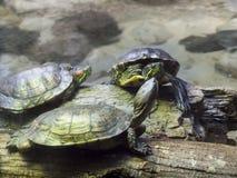 Tortugas de la charca Imagen de archivo libre de regalías