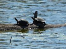 Tortugas de la tortuga acuática que se sientan en una rama en el Sun imagen de archivo