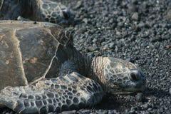 Tortugas de mar Fotografía de archivo libre de regalías