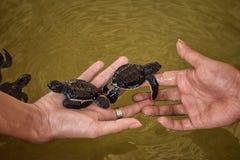 Tortugas de mar escogidas Foto de archivo libre de regalías
