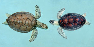 Tortugas de mar mexicanas Fotografía de archivo libre de regalías