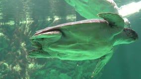 Tortugas de mar que nadan bajo el agua almacen de video