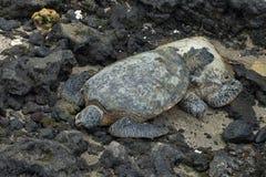 Tortugas de mar verde Fotografía de archivo
