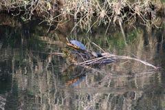 Tortugas de rotura mamá y niño en el río del inicio de sesión Fotos de archivo
