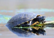 Tortugas del agua Imágenes de archivo libres de regalías