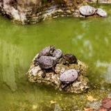 Tortugas del agua Fotografía de archivo libre de regalías