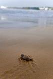 Tortugas del bebé Foto de archivo libre de regalías