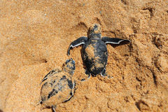Tortugas del bebé Imagen de archivo