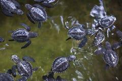 Tortugas del bebé Fotos de archivo