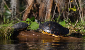 Tortugas del resbalador del River Cooter que toman el sol en el registro, reserva del nacional del pantano de Okefenokee Imágenes de archivo libres de regalías