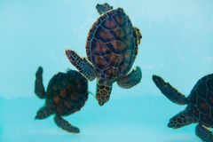 Tortugas en agua Foto de archivo