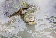 Tortugas en el agua Fotos de archivo libres de regalías