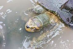 Tortugas en el agua Imagen de archivo libre de regalías