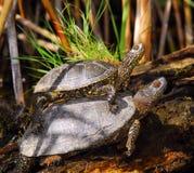 Tortugas en el delta de Danubio Fotografía de archivo