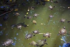 Tortugas en el lago Fotografía de archivo libre de regalías
