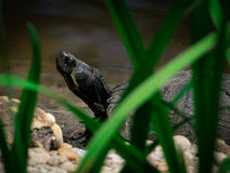 Tortugas en el lago swan Imagen de archivo libre de regalías