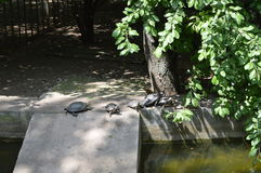 Tortugas en fila en la orilla Foto de archivo