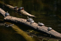 Tortugas en registro Foto de archivo libre de regalías