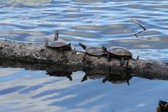 Tortugas en un registro Imagenes de archivo