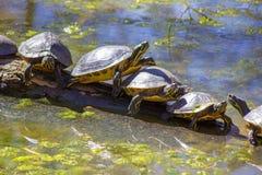 Tortugas en un registro Fotos de archivo libres de regalías