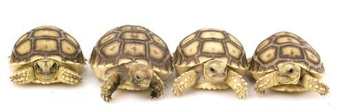 Tortugas estimuladas africanas (sulcata del Geochelone) Foto de archivo libre de regalías