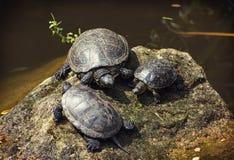 Tortugas europeas de la charca que toman el sol en la roca Foto de archivo