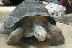 Tortugas gigantes Fotografía de archivo libre de regalías