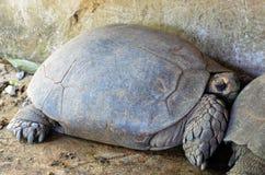 Tortugas gigantes Imagen de archivo libre de regalías