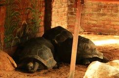 Tortugas grandes Foto de archivo libre de regalías