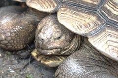Tortugas grandes que buscan la comida Imagenes de archivo