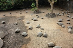 Tortugas jovenes granja, las Islas Gal3apagos. fotos de archivo