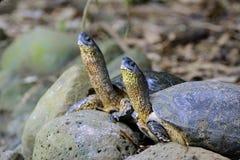 Tortugas negras del río Imagen de archivo libre de regalías