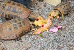 Tortugas que comen la flor Imagen de archivo libre de regalías