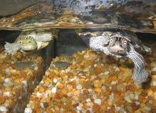 Tortugas que nadan Imágenes de archivo libres de regalías