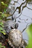 Tortugas que se enfrían en el riverbank fotos de archivo libres de regalías