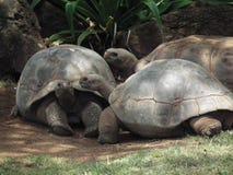 Tortugas que se relajan en el sábalo Fotos de archivo libres de regalías