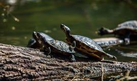 Tortugas que toman el sol en la madera de deriva Fotos de archivo