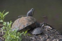 Tortugas que toman el sol en la orilla del lago Imagenes de archivo