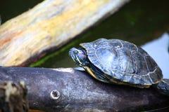 Tortugas que toman el sol en un registro Imagen de archivo libre de regalías
