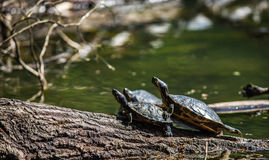 Tortugas que toman el sol en una madera de deriva Fotografía de archivo libre de regalías