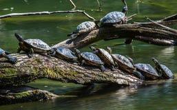 Tortugas que toman el sol en una madera de deriva Foto de archivo